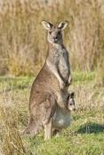eastern-grey-kangaroo-with-joey-in-pouch-picture;eastern-grey-kangaroo-with-joey-in-pouch;grey-kangaroo-with-joey-in-pouch;kangaroo-with-joey;macropus-giganteus;joey-in-kangaroo-pouch;kangaroo-with-baby;kangaroo-portrait;grampians-national-park;australian-marsupials;australian-national-parks;victoria-national-park;victorian-national-parks;steven-david-miller
