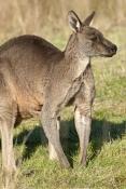 eastern-grey-kangaroo-picture;eastern-grey-kangaroo;eastern-gray-kangaroo;male-eastern-grey-kangaroo;grey-kangaroo;gray-kangaroo;macropus-giganteus;male-kangaroo;grampians-national-park;australian-marsupials;australian-national-parks;victoria-national-park;victorian-national-parks;steven-david-miller