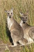 eastern-grey-kangaroo-joey-picture;eastern-grey-kangaroo-joey;eastern-gray-kangaroo-joey;grey-kangaroo-joey;kangaroo-joey;macropus-giganteus;kangaroo-joey-portrait;young-kangaroo;grampians-national-park;australian-marsupials;australian-national-parks;victoria-national-park;victorian-national-parks;steven-david-miller