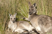 eastern-grey-kangaroo-mother-and-joey-picture;eastern-grey-kangaroo-mother-and-joey;eastern-gray-kangaroo-mother-and-joey;grey-kangaroo-mother-and-joey;kangaroo-joey-and-mother;macropus-giganteus;kangaroo-joey-and-mother-portrait;young-kangaroo-with-mother;grampians-national-park;australian-marsupials;australian-national-parks;victoria-national-park;victorian-national-parks;steven-david-miller