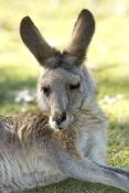 eastern-grey-kangaroo;macropus-giganteus;kangaroo-lying-down;kangaroo-head-portrait;lone-pine-koala-sanctuary
