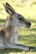 eastern-grey-kangaroo;macropus-giganteus;kangaroo-lying-down;lone-pine-koala-sanctuary;kangaroo-head-portrait