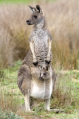 kangaroo;joey;joey-in-pouch;mother-and-baby-kangaroo;eastern-grey-kangaroo;macropus-giganteus;grampians;steven-david-miller