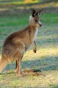 australian-national-parks;gray-kangaroo