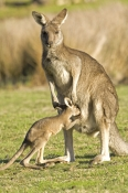 eastern-grey-kangaroo;macropus-giganteus;mother-kangaroo-with-joey;joey-kangaroo;grampians-national-park;joey-drinking-from-mothers-pouch;baby-kangaroo-drinking-from-pouch
