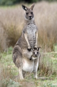 eastern-grey-kangaroo;macropus-giganteus;mother-kangaroo-with-joey-in-pouch;grampians-national-park;steven-david-miller
