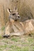 male-eastern-grey-kangaroo;macropus-giganteus;kangaroo-lying-down;grampians-national-park;steven-david-miller