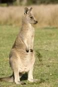 young-eastern-grey-kangaroo;macropus-giganteus;kangaroo-portrait;grampians-national-park;steven-david-miller