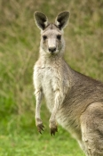 eastern-grey-kangaroo;kangaroo;macropus-giganteus;buchan-caves;buchan-caves-reserve;victoria-reserve;australian-marsupial