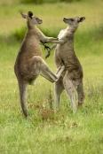 Gariwerd;eastern-gray-kangaroo;kangaroos-fighting