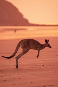 kangaroo-hopping;eastern-grey-kangaroo;gray-kangaroo;macropus-giganteus;cape-hillsborough-national-park