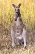 eastern-grey-kangaroo;macropus-giganteus;kangaroo-standing;kangaroo-cleaning-paws;female-kangaroo;undara-volcanic-national-park;queensland-national-park