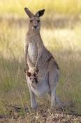 eastern-grey-kangaroo;macropus-giganteus;kangaroo-standing;female-kangaroo-with-joey-in-pouch;joey-kangaroo-in-pouch;undara-volcanic-national-park;queensland-national-park