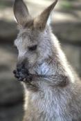 forester-kangaroo-picture;forester-kangaroo;tasmanian-eastern-grey-kangaroo;tasmanian-kangaroo;macropus-giganteus-tasmaniensis;tasmania;tasmanian-marsupials;boorong-wildlife-park;hobart;tasmanian-wildlife;kangaroo-licking-its-paws