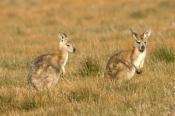 euro;wallaroo;euro-or-common-wallaroo-foraging;maropus-robustus;common-wallaroo;euro-or-wallaroo-pale-eyelid;flinders-ranges-national-park;south-australia-national-park;kangaroo;australian-marsupial