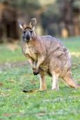 male-euro-or-common-wallaroo-foraging;maropus-robustus;common-wallaroo;euro-or-wallaroo-pale-eyelid;flinders-ranges-national-park;south-australia-national-park;euro;wallaroo;male-euro