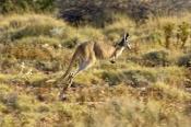kangaroo-in-motion;kangaroo-bounding-or-running;euro;maropus-robustus;common-wallaroo;western-australia-national-park;exmouth