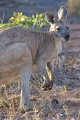 wallaroo;euro;maropus-robustus;common-wallaroo;western-australia-national-park;exmouth;euro;cape-range-national-park