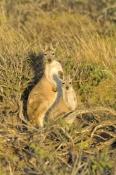 kangaroo-and-joey;mother-with-joey;euro;maropus-robustus;common-wallaroo;wallaroo;cape-range-national-park;exmouth;western-australian-national-parks