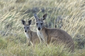kangaroo-and-joey;mother-with-joey;euro;maropus-robustus;common-wallaroo;cape-range-national-park;exmouth;western-australian-national-parks