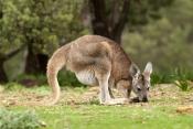 euro;common-wallaroo;wallaroo;macropus-robustus;kangaroo;flinders-ranges-national-park;furry-kangaroo;south-australia-national-park;kangaroo-using-tail;kangaroo-balancing-with-tail;kangaroo-tail