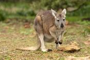 euro-or-common-wallaroo-foraging;maropus-robustus;common-wallaroo;euro-or-wallaroo-pale-eyelid;flinders-ranges-national-park;euro;wallaroo;south-australia-national-park