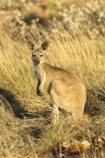 euro-or-common-wallaroo-foraging;maropus-robustus;common-wallaroo;euro;wallaroo;cape-range-national-park;exmouth;western-australia-national-park