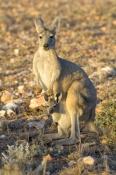 euro-or-common-wallaroo-foraging;female-kangaroo-with-joey;joey-in-pouch;maropus-robustus;common-wallaroo;euro-or-wallaroo-pale-eyelid;exmouth;cape-range-national-park;euro;wallaroo;western-australia-national-park