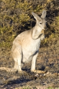 euro-or-common-wallaroo-foraging;maropus-robustus;common-wallaroo;kangaroo-eating;euro;wallaroo;cape-range-national-park;exmouth;western-australia-national-park