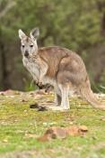euro-picture;euro;wallaroo;common-wallaroo;hill-kangaroo;macropus-robustus;euro-with-joey;kangaroo-with-joey;joey-in-pouch;baby-kangaroo-in-pouch;mother-kangaroo-with-joey;kangaroo;female-kangaroo;flinders-ranges-national-park;wilpena;south-australia;australia;steven-david-miller