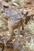 euro;maropus-robustus;wallaroo;west-macdonnell-national-park;west-macdonnell-ranges;alice-springs;common-wallaroo;northern-territory-national-park;hill-kangaroo