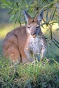 euro-picture;euro;wallaroo;common-wallaroo;hill-kangaroo;macropus-robustus;kangaroo-eating;australian-marsupials;millstream-chichester-national-park;australian-national-parks;western-australian-national-parks