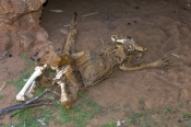 euro;maropus-robustus;wallaroo;kangaroo-skeleton;animal-skeleton;skeleton;death