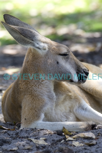 red kangaroo;macropus rufus;kangaroo sleeping;kangaroo head