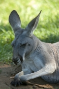 australian-marsupial;kangaroo-sleeping