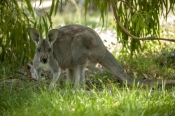 australian-marsupial