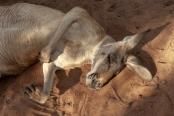 kangaroo-snoozing