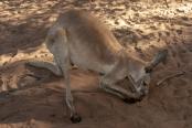 kangaroo-licking-paws