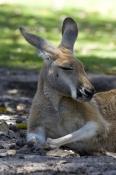 red-kangaroo;macropus-rufus;kangaroo-sleeping;kangaroo-head