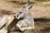 red-kangaroo;male-red-kangaroo;macropus-rufus;kagaroo;kangaroo-sleeping;kangaroo-head;kangaroo-portrait