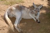 red-kangaroo;male-red-kangaroo;macropus-rufus;kagaroo;kangaroo-sleeping;kangaroo-portrait