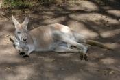 red-kangaroo;male-red-kangaroo;macropus-rufus;kagaroo;kangaroo-sleeping;kangaroo-lying-on-ground