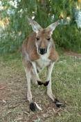 red-kangaroo-picture;red-kangaroo;kangaroo;macropus-rufus;female-kangaroo;female-red-kangaroo;large-kangaroo;kangaroo-looking-at-camera;tame-kangaroo;young-kangaroo;curious-kangaroo;northern-territory;central-australia