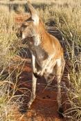 red-kangaroo-picture;red-kangaroo;kangaroo;macropus-rufus;female-kangaroo;female-red-kangaroo;large-kangaroo;kangaroo-looking-at-camera;tame-kangaroo;young-kangaroo;curious-kangaroo;northern-territory;central-australia;steven-david-miller