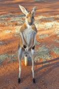 red-kangaroo-picture;red-kangaroo;kangaroo;macropus-rufus;female-kangaroo;female-red-kangaroo;large-kangaroo;kangaroo-looking-at-camera;kangaroo-standing-up;kangaroo-on-tips-of-legs;tame-kangaroo;young-kangaroo;curious-kangaroo;northern-territory;central-australia