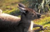 kangaroo-island-kangaroo-picture;kangaroo-island-kangaroo;kangaroo;western-grey-kangaroo-subspecies;western-grey-kangaroo;macropus-fuliginosis-fuliginosus;kangaroo-sleeping;flinders-chase-national-park;kangaroo-island;australian-marsupials;australian-national-parks;south-australia-national-parks;kangaroo-island-national-park;steven-david-miller