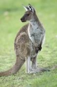 kangaroo;kangaroo-penis;western-grey-kangaroo;macropus-fuliginosus;flinders-ranges-national-park;south-australia-national-park;wilpena;wilpena-pound