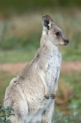 kangaroo;female-western-grey-kangaroo;macropus-fuliginosus;flinders-ranges-national-park;south-australia-national-park;wilpena;wilpena-pound;western-grey-kangaroo