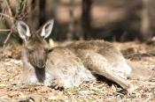 young-kangaroo-sleeping;young-western-grey-kangaroo-sleeping;macropus-fuliginosus;flinders-ranges-national-park;south-australia-national-park;wilpena;wilpena-pound;kangaroo-sleeping;kangaroo-lying-on-ground