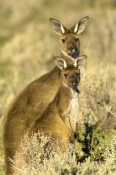 western-grey-kangaroo;macropus-fuliginosus;kangaroo-with-joey;mungo-national-park;willandra-lakes-world-heritage-area;new-south-wales-national-park